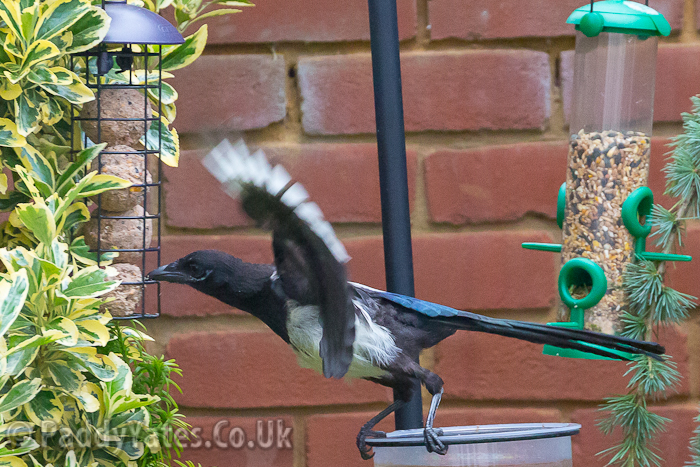 garden-birds-31