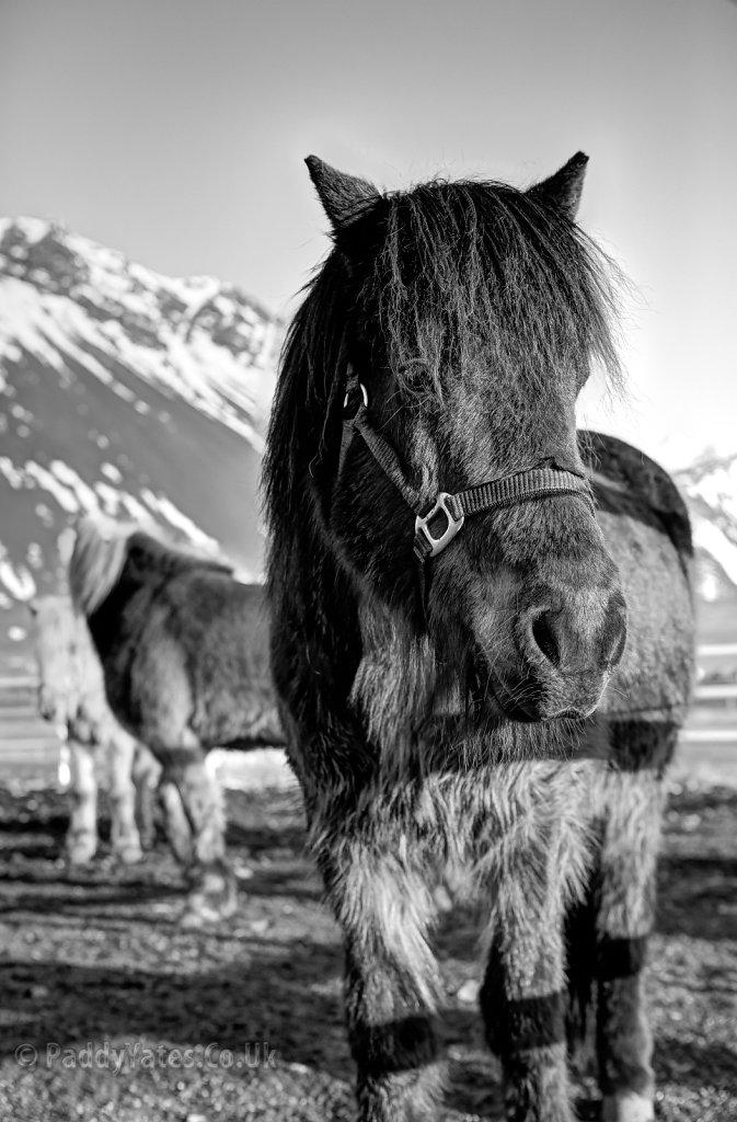 Icelandic Horses, 1